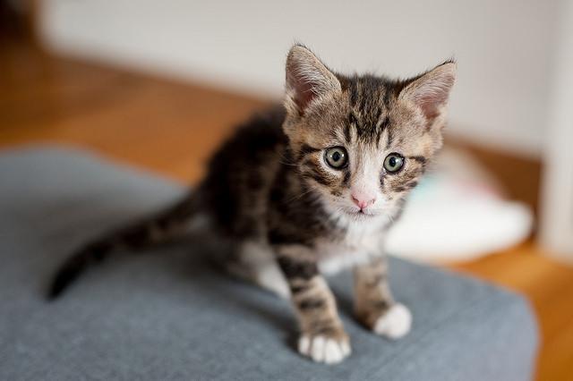 Kitten eating litter